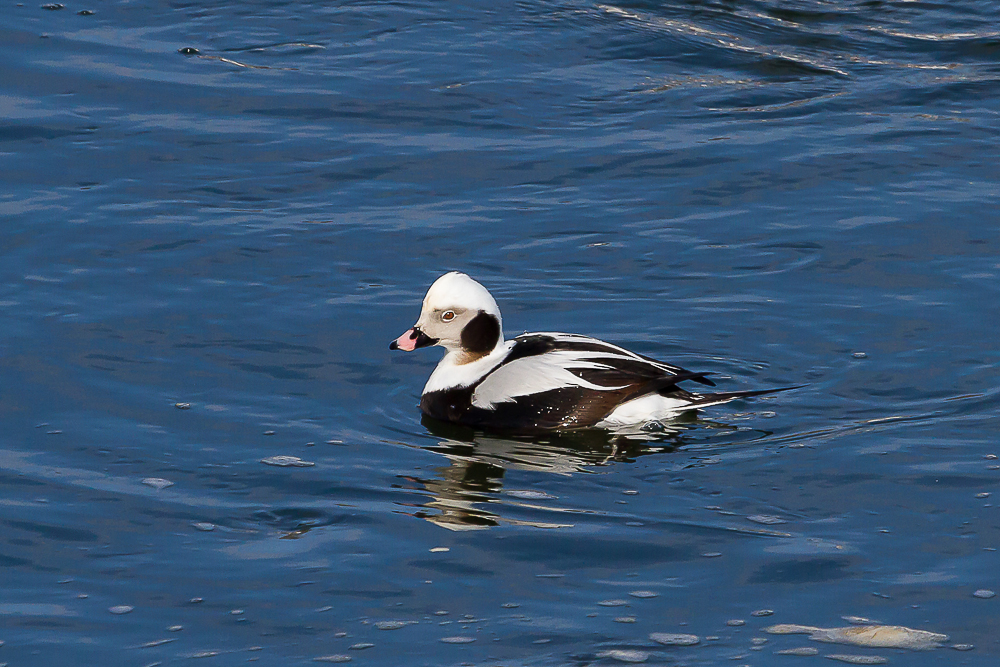 Long-tailed Duck (by Paul Roedding)