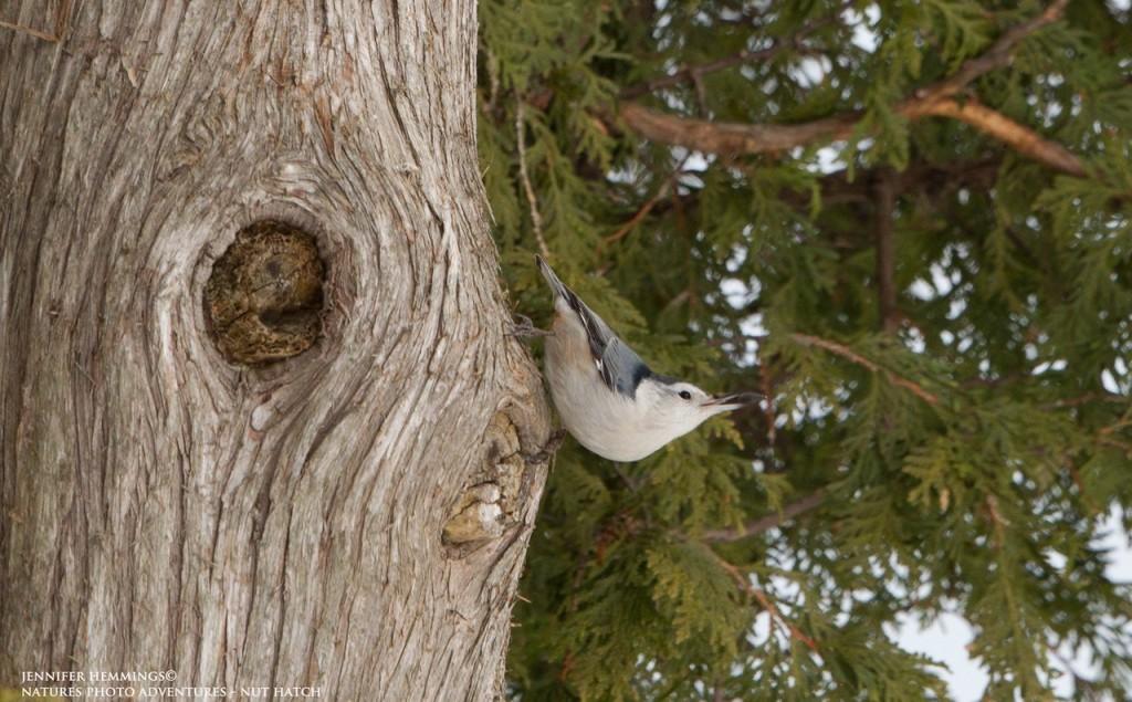Nut Hatch - Birding at Darlington Provincial Park