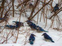 Birds Galore Mew Lake Algonquin