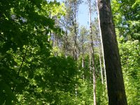 Sauble Trail - Towering Trees